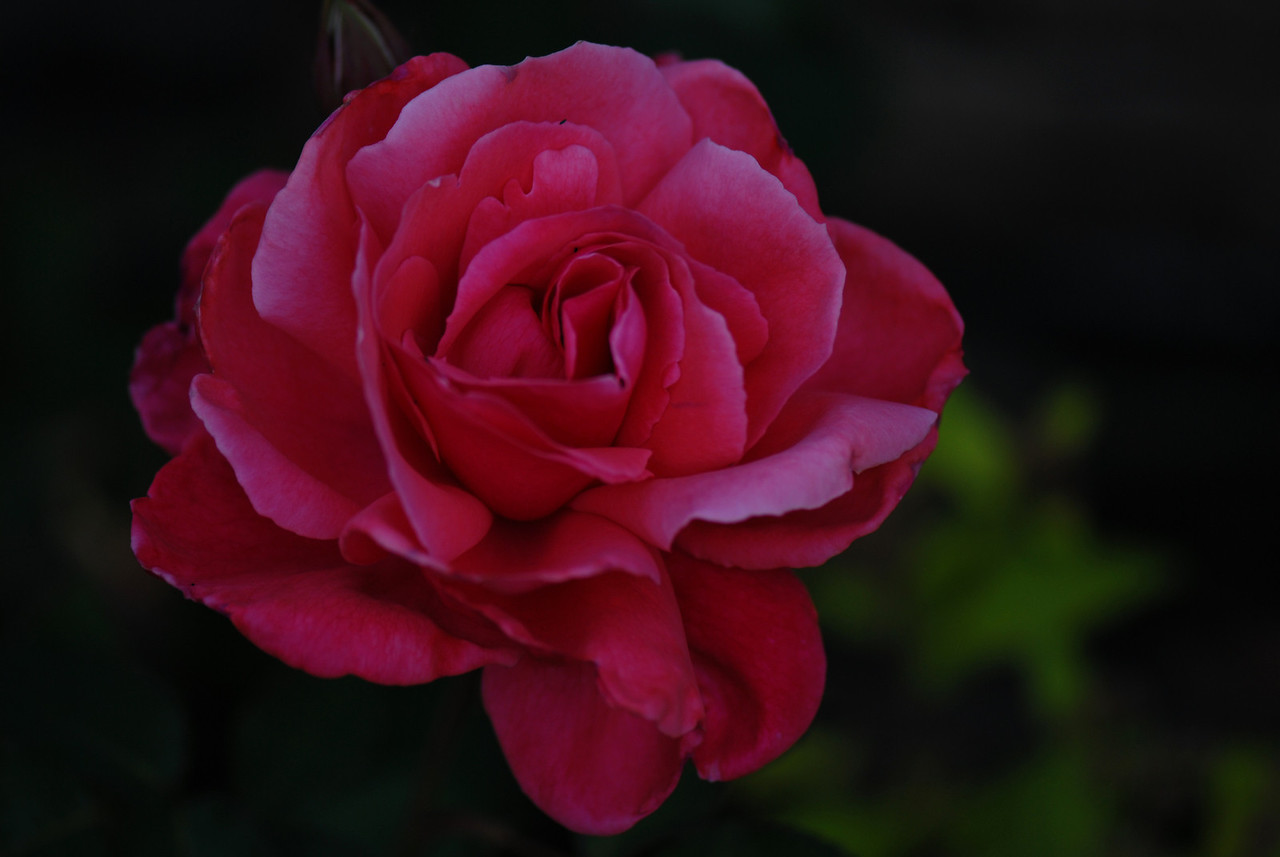 Rose - Powdered Sugar I_1