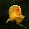 Rosebud I_edited-1