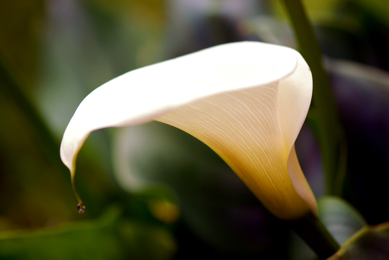 Calla Lilly - Dew Drop I