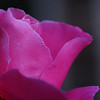 Rose - Elegant in Pink I