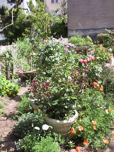 The center bed, with California and Icelandic poppies, marigolds, callas, and a few purple and white agapanthus.