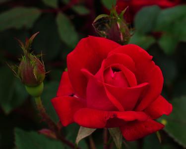 Roses 40-150 Pro
