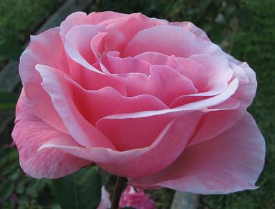 2006 10 13 Roses