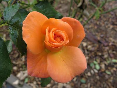 2007 02 24 Roses