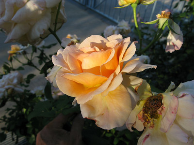 G9 More Roses Oct 07