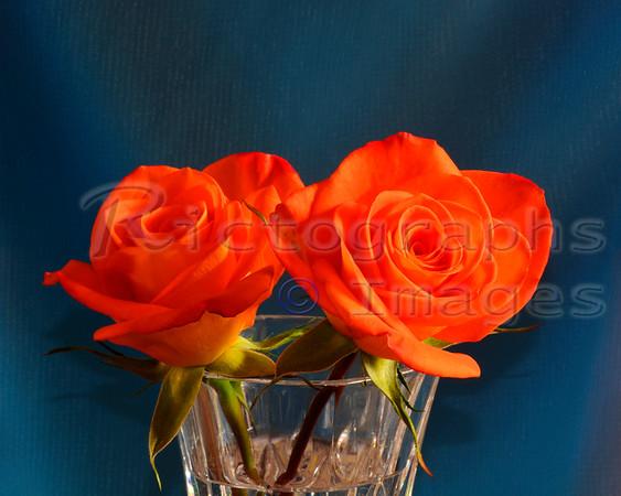 Beautiful Orange Rose Cultivars