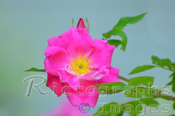 A Beautiful Pink Rose