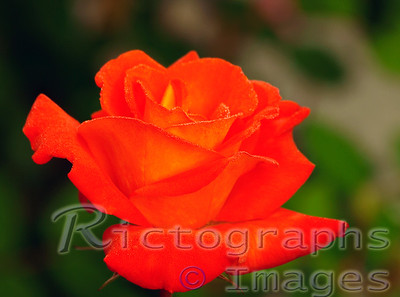 Beautiful Orange Cultivar