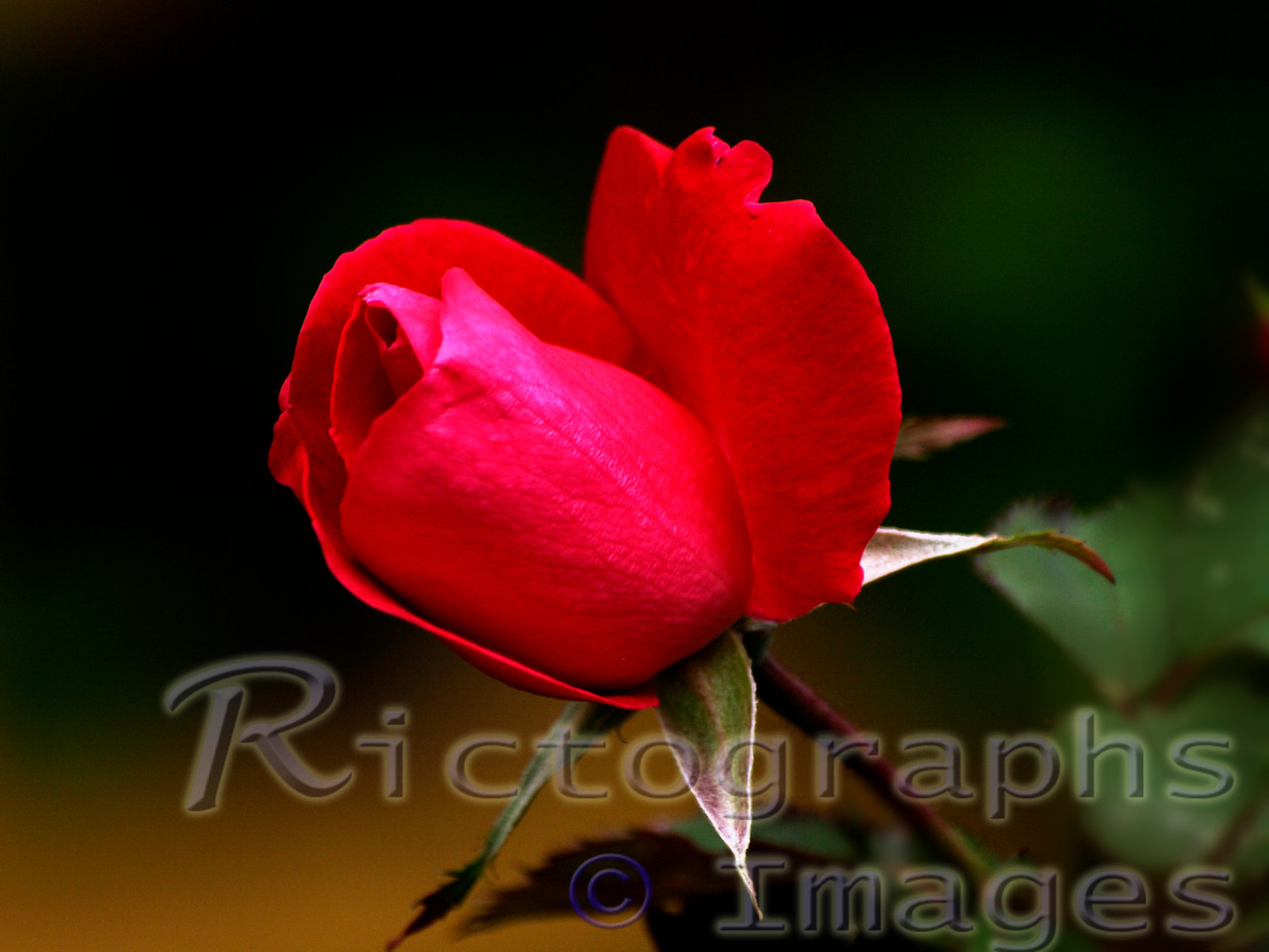 Rose Bud Flower