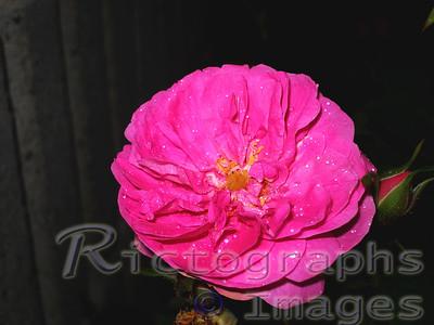 Beautiful Pink, Rose