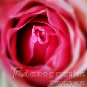 Pink Rose, Delicate Beauty Rictographs Images Designs