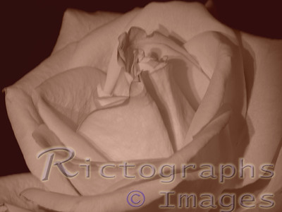 Multiple Exposure White Rose