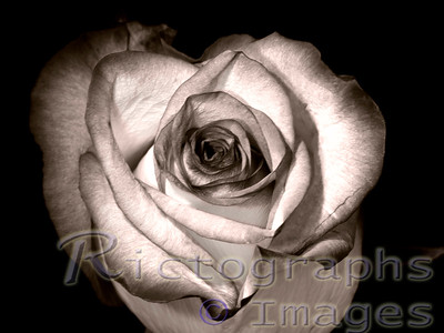 Sepia Colored Rose