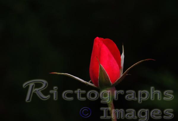 Red Rose Bud; Garden Flower; Ric Evoy; Rictographs Images