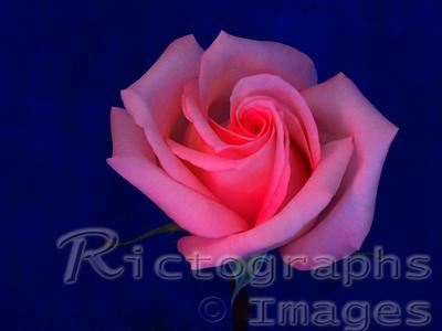 Pink, Rose, flower