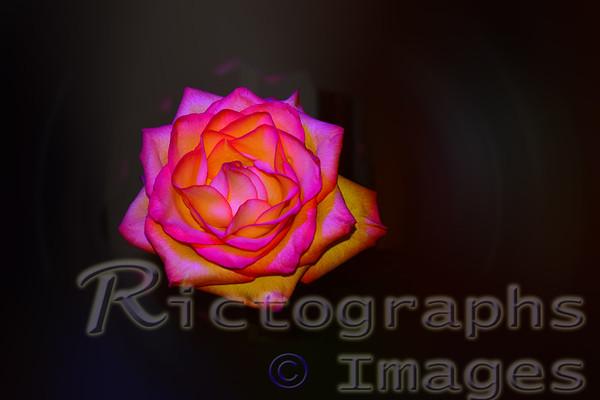 Yellow & Pink Beauty,