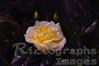 A Yellow White Garden Rose