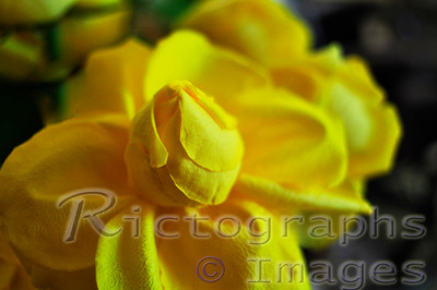 A Yellow Rose Bud