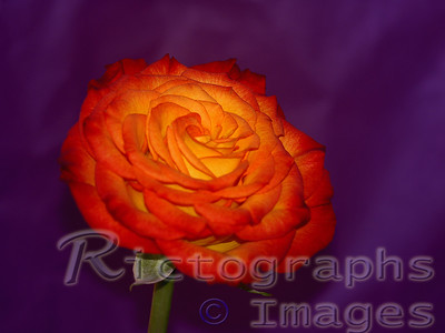 Blossoming Rose