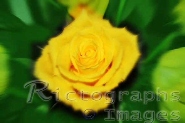 Art, Yellow Rose