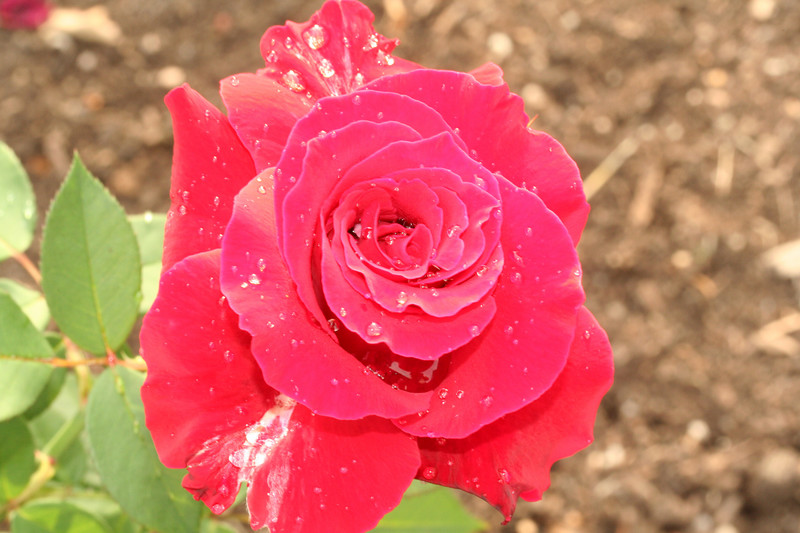 rose0069