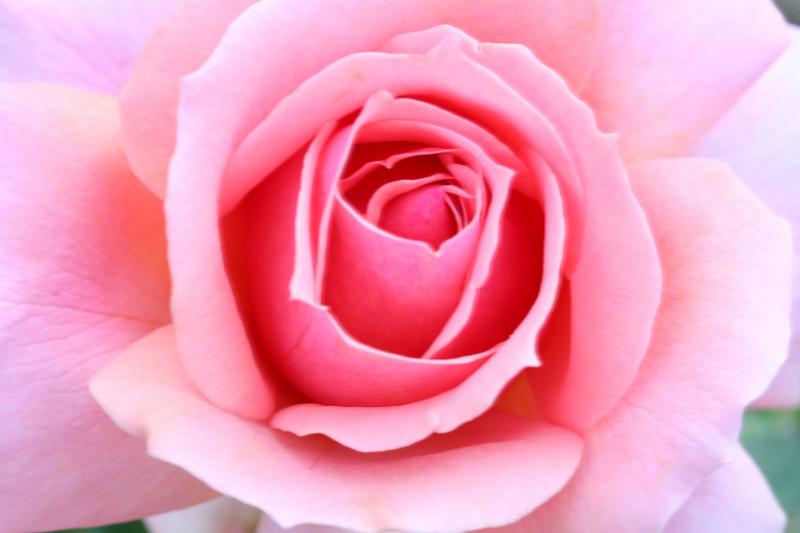 rose3974