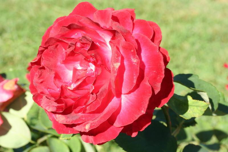 rose-23-09-07_3403