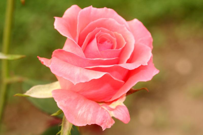 rose-QBG-0139