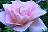 S-Rose1