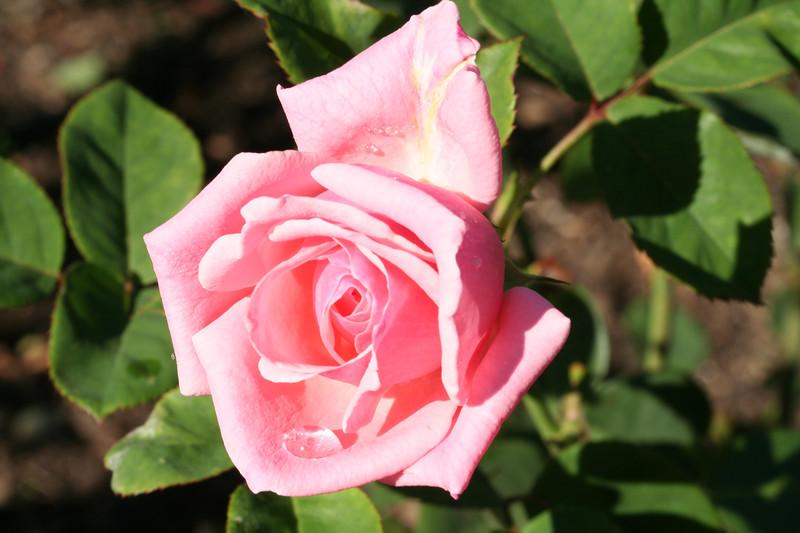 rose-23-09-07_3413