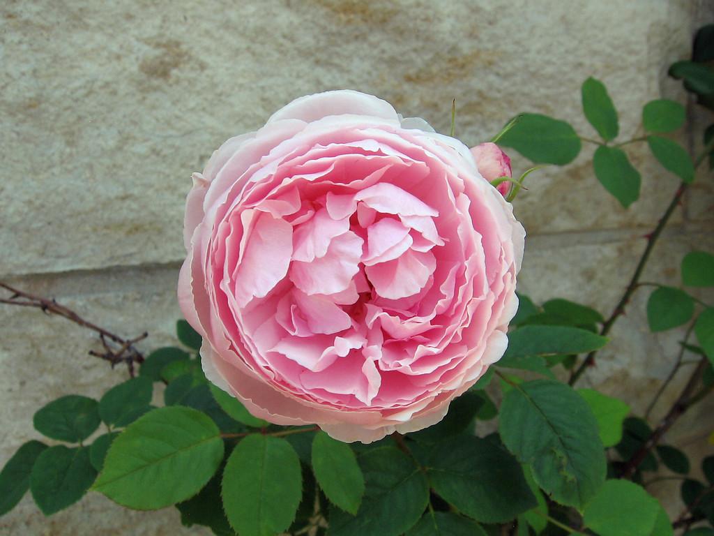 Pink English rose.