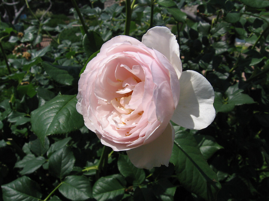 The Reeves English Rose