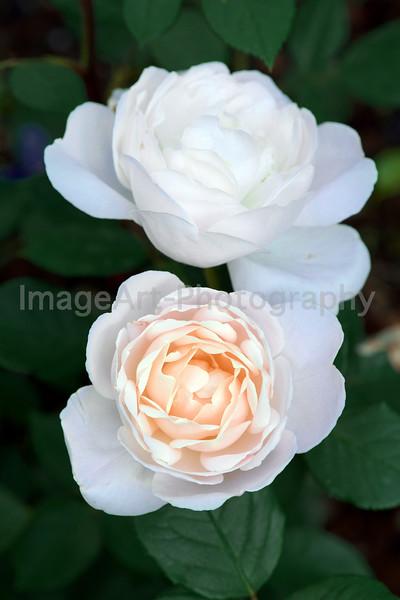 Gentle Hermione, an English rose by David Austin