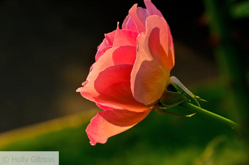 Rose in SE Portland - Ladd's Subdivision -  55