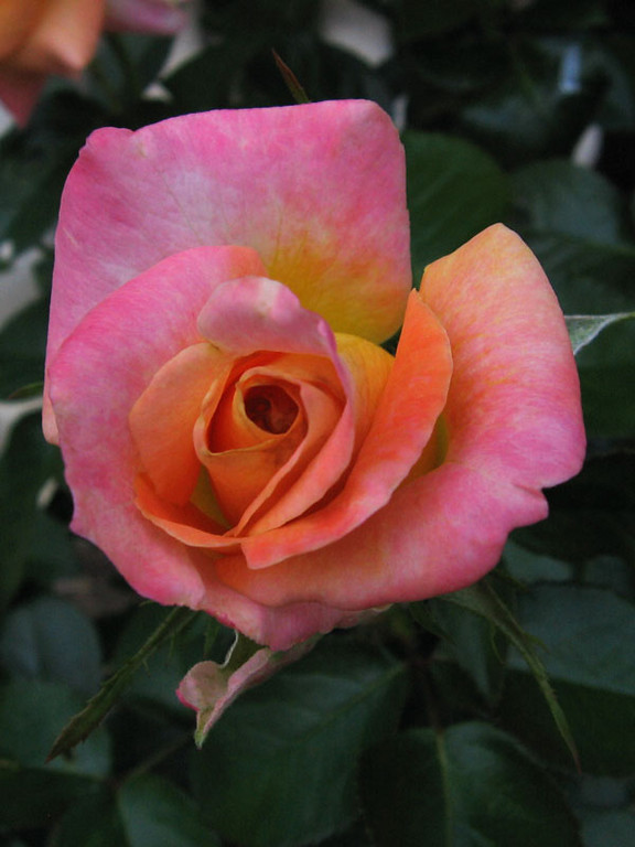 Multi-colored Rose