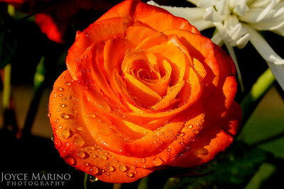 Rose with raindrops -- DSC_3309