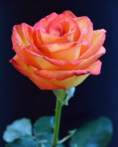 Fire Rose - 8x10
