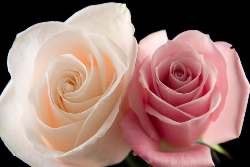Flower050d (Rose)