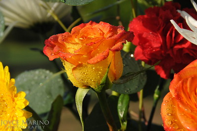 Raindrops and roses -- DSC_3308