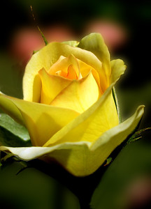 Yellow rose flowering shrub of the genus Rosa