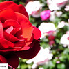 Close up of red rose in garden - 14