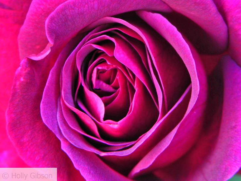 Close up of pink rose - 8