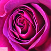 Close up of pink rose - 8