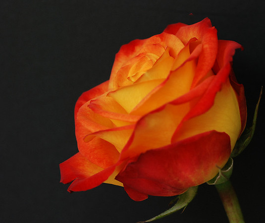 PROFILE OF A ROSE