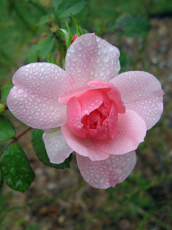 Pink Meidland Rose<br /> The day I shot this was very cool and it had been misting rain for many days.