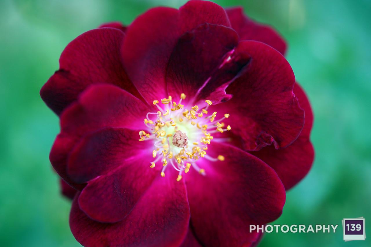 Grandma's Rose