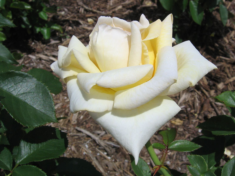 White rose with a faint yellow cast.