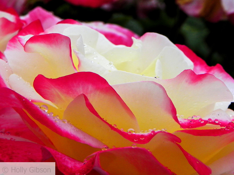 Rose petals and raindrops - 45