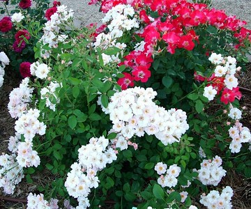 Shrub roses, 'Flower Girl'(front) and 'Be-Bop'(top right)