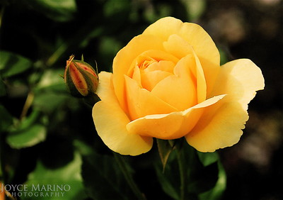 Yellow rose, DSC_0141